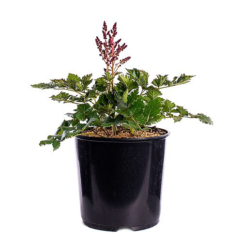 7.5L Little Vision in Pink Astilbe Flowering Plant