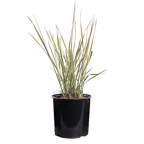 7.5L Overdam Feather Reed Grass (Calamagrostis)