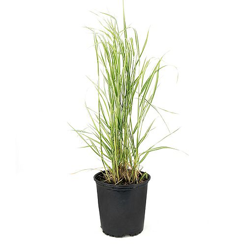 Garden Elements 7.5L Avalanche Feather Reed Grass (Calamagrostis)