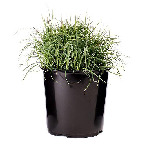 Garden Elements 7.5L Blue Zinger Sedge Grass (Carex)