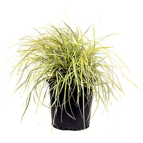 Garden Elements 7.5L Evergold  Japanese Sedge Grass (Carex)