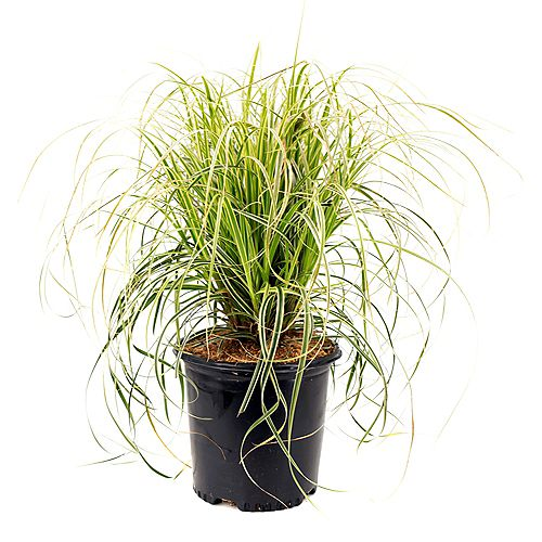 Garden Elements 7.5L Feather Falls Japanese Sedge Grass (Carex)