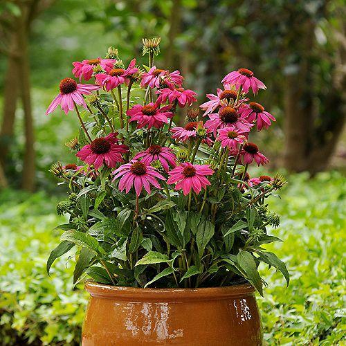 7.5L PowWow Wild Berry Purple Coneflower (Echinacea) Flowering Plant