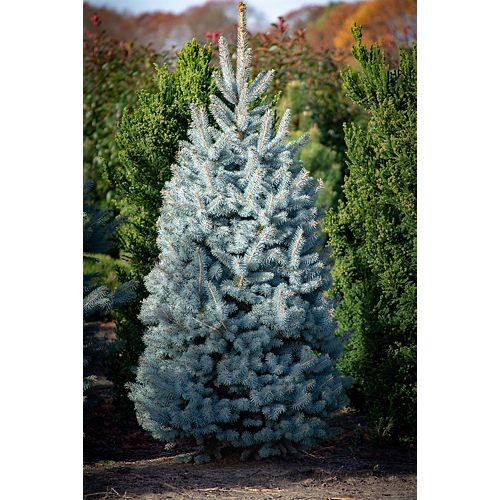 Colorado Blue Spruce 3g