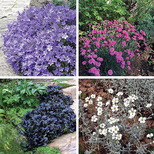 Garden Border Flowering Plants - Bellflower, Carnation, Irish Moss, Rock Cress - Assorted 4 Pack