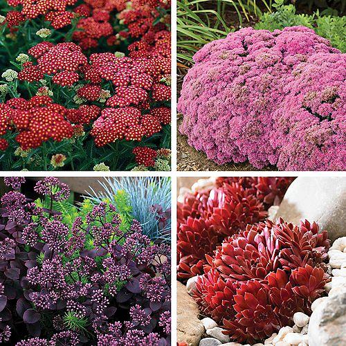 Drought Tolerant Hardy Succulent Plants - Hens and Chicks, Stonecrop (Sedum) - Assorted 4 Pack