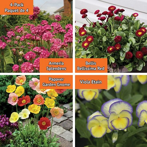 Early Spring Flowering Plants - English Daisy, Pansy, Poppy, Sea Thrift  - Assorted 4 Pack