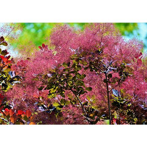 Royal Purple Smokebush 2g