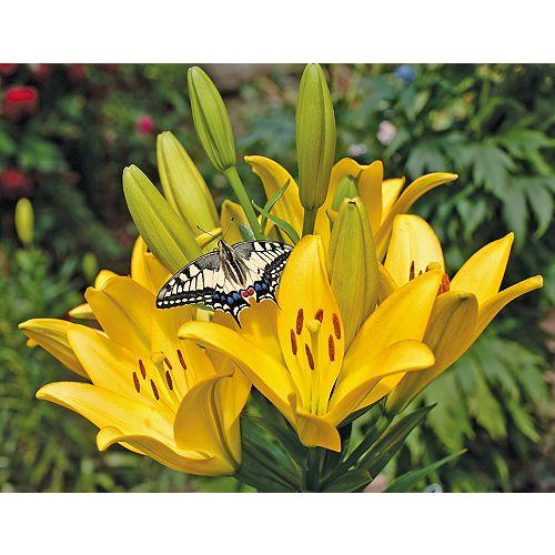 12cm Vigoro Perennial Yellow Lily (Lilium asiatic)