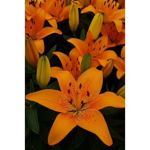 12cm Perennial Orange Lily (Lilium asiatic)