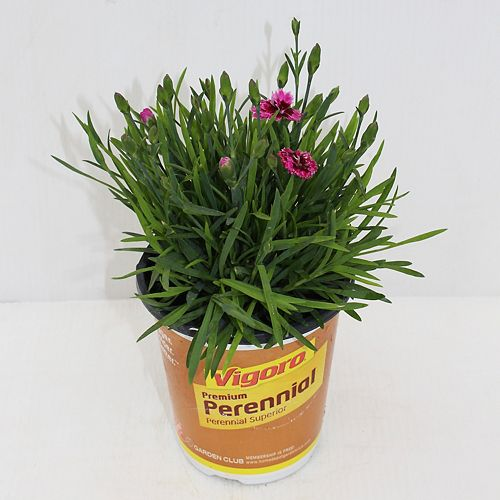 12cm Vigoro Burgundy Dianthus
