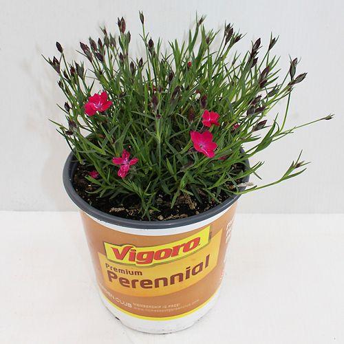 12cm Vigoro Pink Dianthus